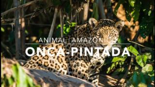 Animais: Onça-pintada – 1º Trimestral 2016