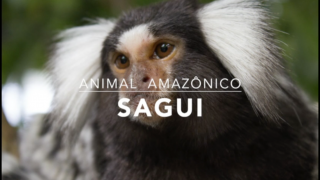 Animais: Sagui – 1º Trimestral 2016