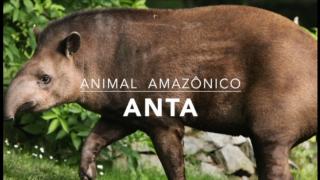 Animais: Anta – 1º Trimestral 2016