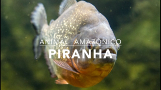 Animais: Piranha – 1º Trimestral 2016