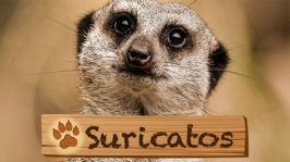 Suricatos
