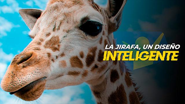 La jirafa, un diseño inteligente