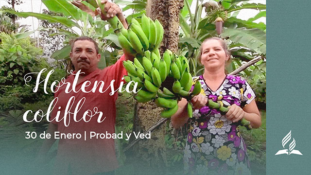 Hortensia coliflor