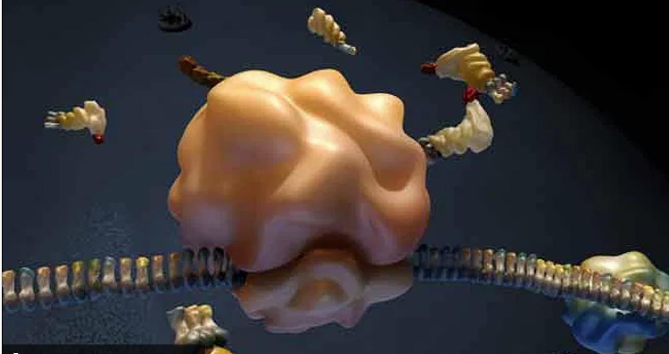 La función de los ribosomas es ayudar en la producción y síntesis de las proteínas en las células. (Foto: reproducción de YouTube).