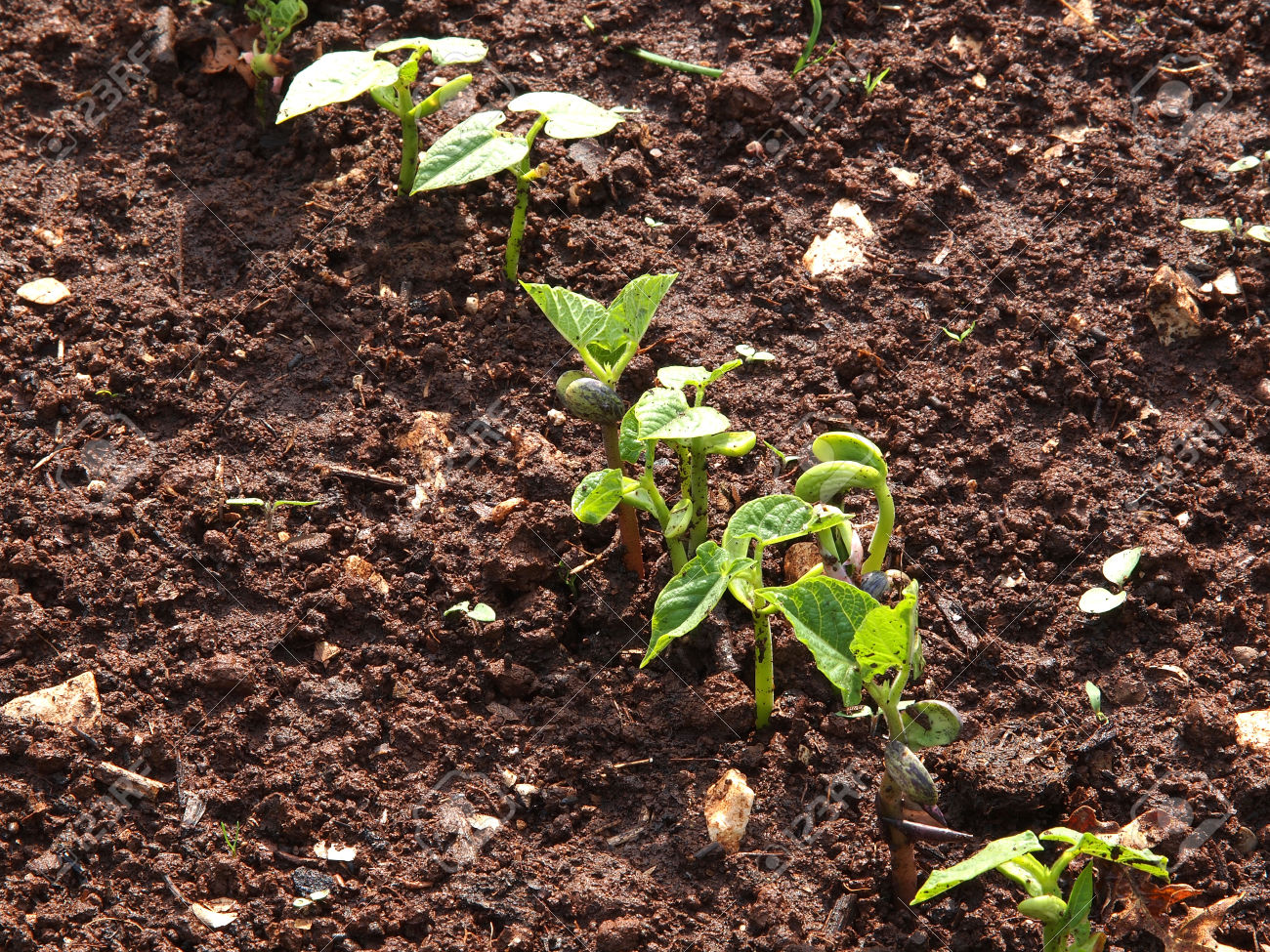 French beans sprout with two leafs in vegetable garden