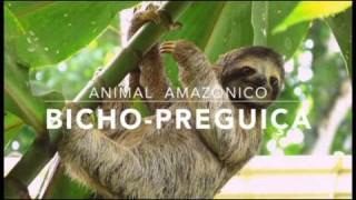 Bicho-preguiça – 1º Trimestral 2016