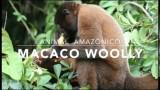 Macaco Woolly  – 1º Trimestral 2016