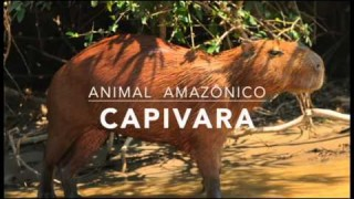 Capivara – 1º Trimestral 2016